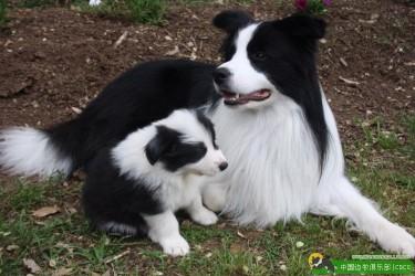 种母犬在繁殖中的地位