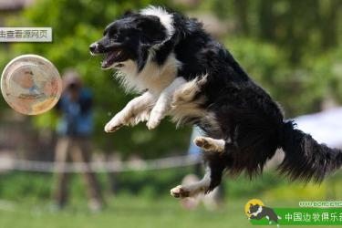 训练干货:飞盘狗巡回训练的原理和步骤(二)