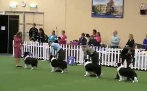 海外掠影:澳大利亚港市皇家犬展边牧赛事