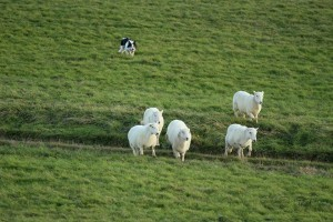 草场牧羊的边境牧羊犬才是真正的魅力所在