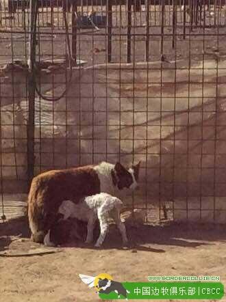 谁说边牧只会牧羊?