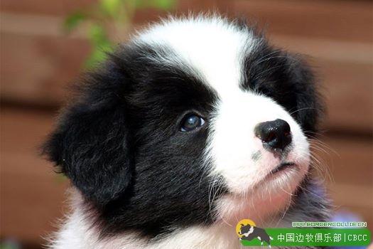 如何选到好的边牧幼犬–幼犬的六项行为测试
