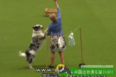 【边牧跳舞视频】与陨石边牧一起晒衣服翩翩起舞,神交互!