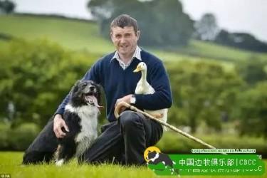 这只边境牧羊犬,应该是最会训鸭子的一只犬了