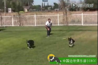 【警惕勿看】您会爱上边境牧羊犬!超级特训狗狗的酷炫特技!