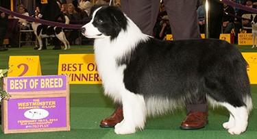 美国西敏寺犬展近十七年边境牧羊犬冠军的演变(1999-2014)