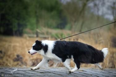 中国BIS获得最多的边境牧羊犬RISE!