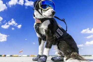 被一只叫piper的边牧帅炸,它是负责驱赶机场跑道上各种鸟类的工作犬