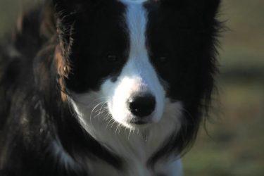 [献给热爱双断的你们]我叫拉斐尔,是一只黑白边境牧羊犬,我一岁啦