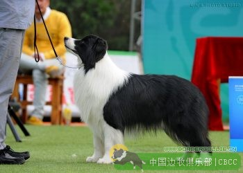 进少爷-BIS、BISS INT,GCH.AM,Gr.(CH.CN)C amo jin of Fu You Yuan Kennel(FCI)