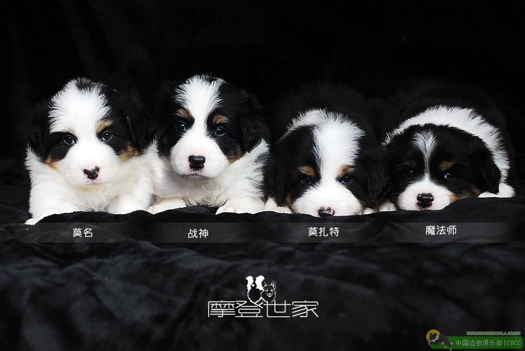 不得不吐槽的中国边牧繁育市场乱象,何时才可以真正促进边境牧羊犬犬种整体水平提升?(上)