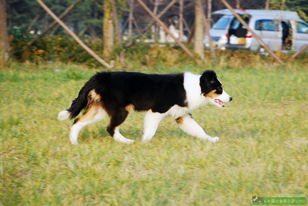 如何训练边境牧羊犬到固定地方大小便(含室内和室外训练)