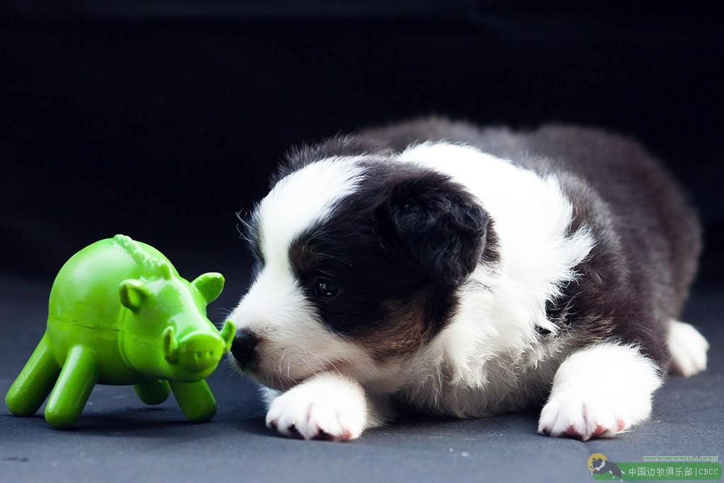春夏边牧驱虫药的选择,关于柯利犬和伊维菌素的那点事!