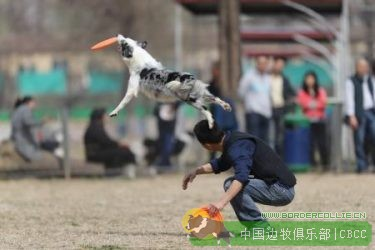 【边牧视频】边境牧羊犬究竟可以跳多高?这个视频告诉你!