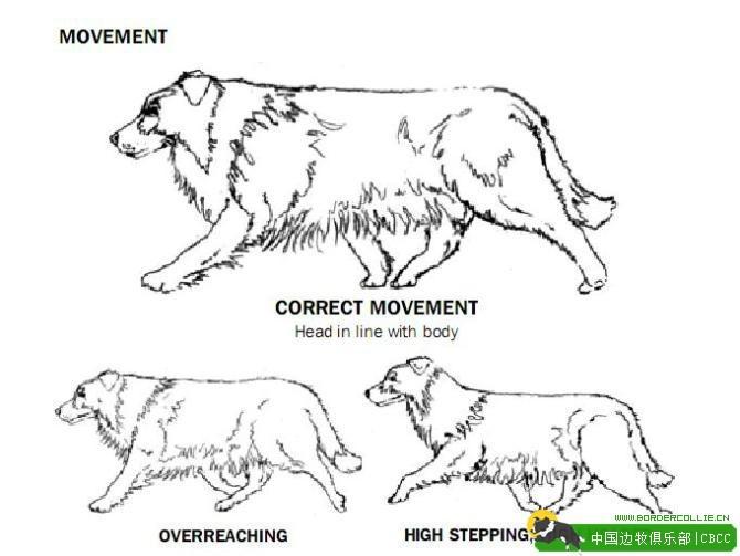 【深度研究】边境牧羊犬与澳洲牧羊犬的全面对比,了解边牧与澳牧的区别!