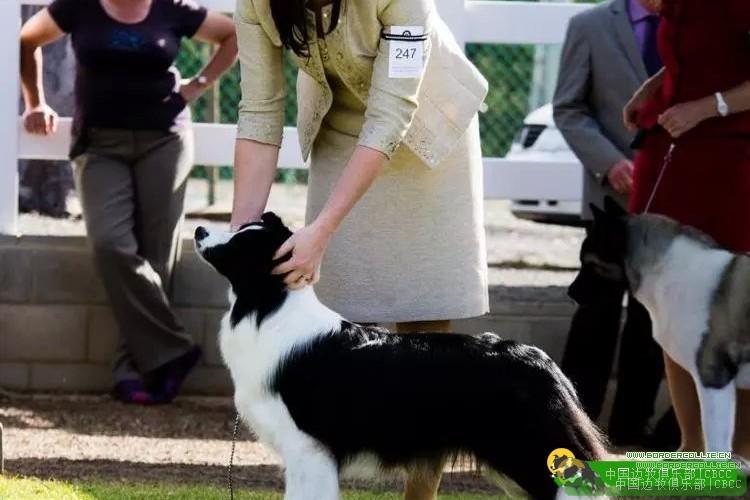2015年澳大利亚边境牧羊犬国家排行榜