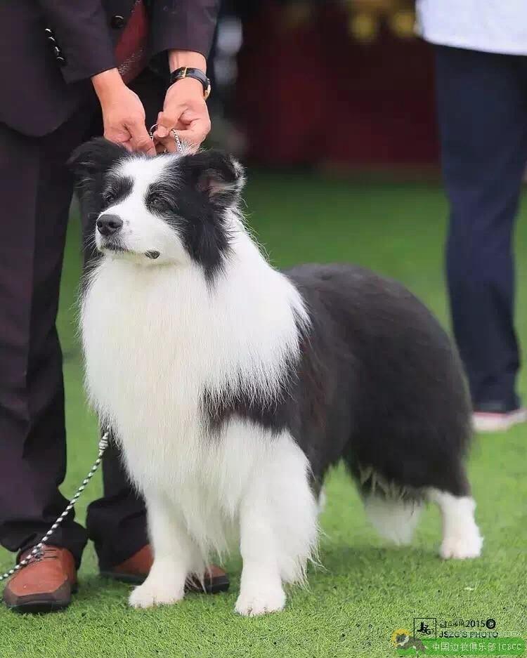 边境牧羊犬名犬-中国边牧俱乐部 第1张